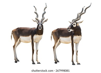 Couple of young blackbuck isolated on white background