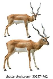 Couple of young blackbuck isolated on white background with clipping path