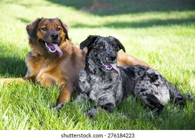 A couple young dogs lounging in the grass after playing on a hot summer day