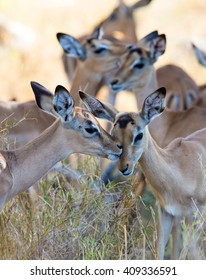 A couple of young impala licking and grooming each other.