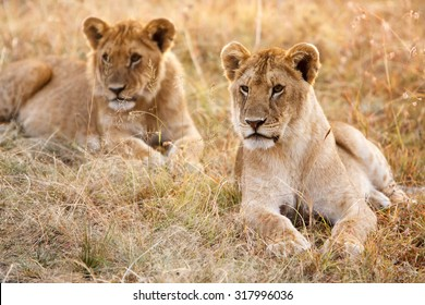 Couple of young lion cubs (Panthera leo) in natural grassland environment of African savanna. Wildlife protection, safari, overland trip concept.