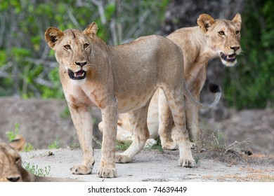 A couple of young lions