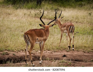 A couple of young male Impala antelopes. The Serengeti, Tanzania