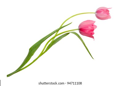 Couple of Young pink tulips isolated on white background