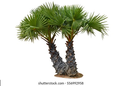 Couple young sugar palm trees on white background