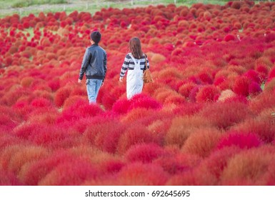 A couples are walking in the garden that full of red kochias at Hitachi seaside park, Ibaraki prefecture, Japan