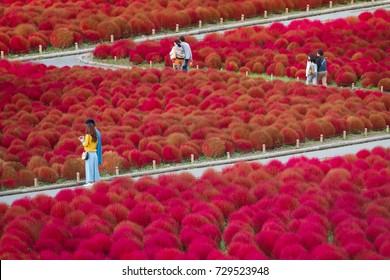Ein Paar geht im Garten, der voll von roten Kochias ist am Hitachi Seebadepark, Präfektur Ibaraki, Japan