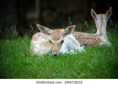 Couples of young Deers on green