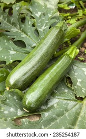 Courgettes and Plant
