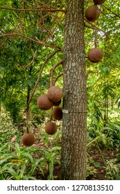 Couroupita fruits or Couroupita guianensis, cannonball tree