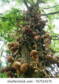 Couroupita guianensis, known as cannonball tree, is a deciduous tree in the family Lecythidaceae, which also includes the Brazil nut (Bertholletia excelsa) and Paradise nut Lecythis zabucajo.