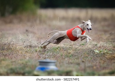 Coursing. Small Dog Italian Greyhound pursues bait in the field. Dog running in the red t-shirt
