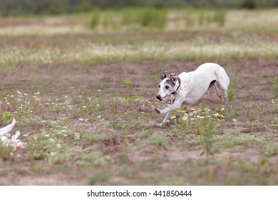 Coursing. Whippet dog running in the field. Camomile field on a sunny day