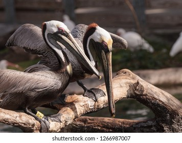Courting brown pelican Pelecanus occidentalis in a pond in Southern Florida.