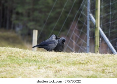 Courting Jackdaws A pair of Jackdaws, corvus monedula, at the start of their courtship.