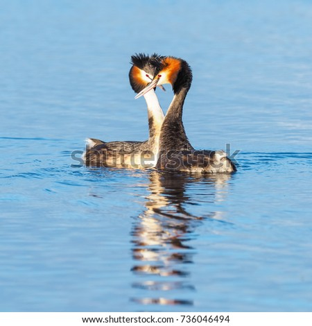 Podiceps cristatus courtship vs dating