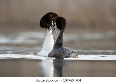 Courtship behaviour of the Great Crested Grebe