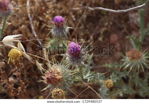 cousinia-thomsoniis-purple-flower-thorns