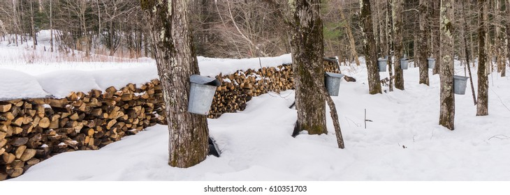 covered aluminum buckets hang on maple trees  collecting sap to make maple syrup  with wood stacked in rows  to be burned while boiling the sap
