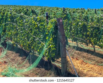 Covered Cabernet grape vines