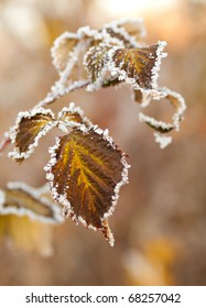 Covered with frost raspberry leaves. Very nice background on the topic of weather and season. Shallow DOF.