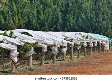 Covered grape vines in vineyard. Protected from Sun and Hail. Filmed Mildura, Victoria.