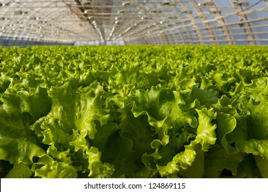Covered greenhouse with two beds of lettuce
