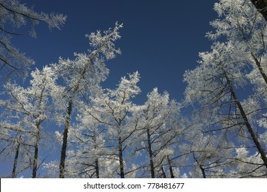 Covered with hoarfrost the crowns of trees in the winter forest against the blue sky. High resolution and detail.