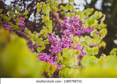 Covered with rain cercis siliquastrum commonly known as the Judas tree or Judas-tree branch in bloom it is a small deciduous tree from Southern Europe and Western Asia which with deep pink flowers in