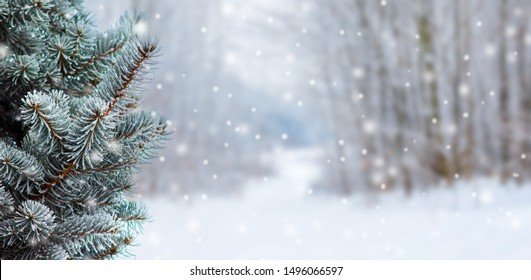 Covered with snow branch spruce  on blurred  background during snowfall, copy space. Winter background