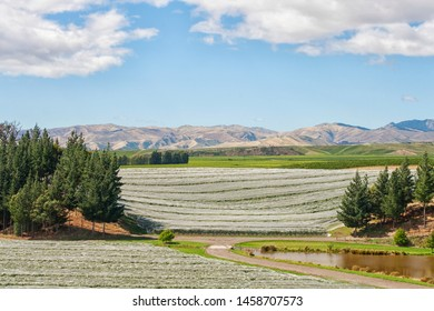 Covered vineyards in Marlborough New Zealand