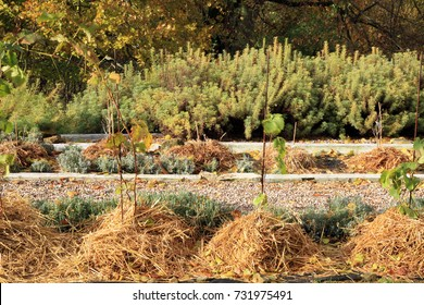 Covering young grapevine plants with straw mulch to protect from cold during winter.