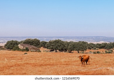 Cow of the Alentejana Breed or Raca Alentejana in the Alto Alentejo landscape. Portalegre, Portugal
