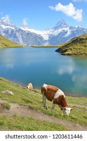 Cow in Alpine meadow. Jungfrau region, Switzerland