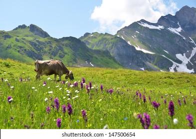Cow in an Alpine meadow. Melchsee-Frutt, Switzerland