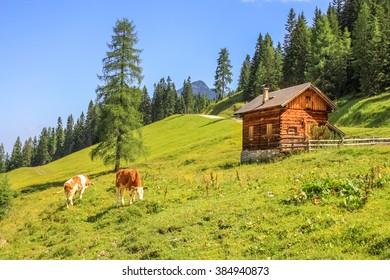 Cow, Alps,