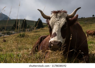 A cow in the Alps mountains  subsidies to farmers