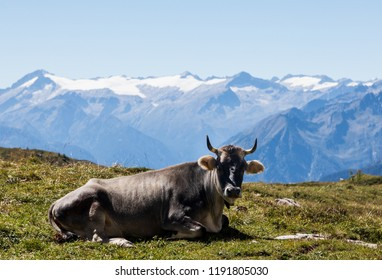 Cow in the Alps, near Madonna di Campiglio