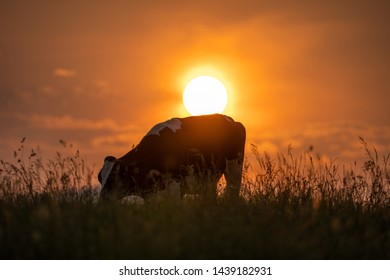 Cow in altopiano di Asiago ( italy ) Veneto