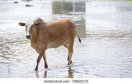 cow at Arabian areas near to jizan