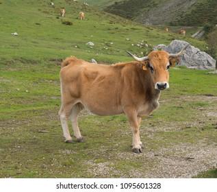 cow in Asturias spain