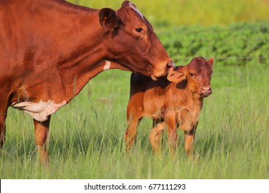 Cow with baby calf in agricultural field, South Africa