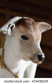 Cow baby in India