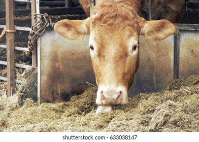 a cow in a barn eating hay