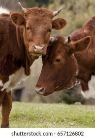 Cow. Beautiful Carpathians in Ukraine.