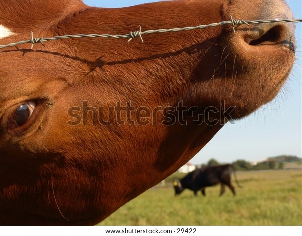 Cow behind a fence