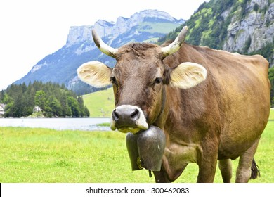 A cow with a bell around his neck