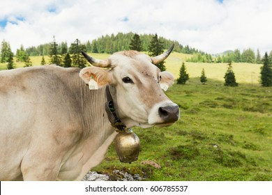 Cow with a bell on it' s neck,  meadow in Alps Austria/ Cow' s head in focus