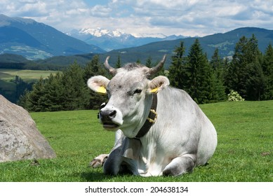 A cow with a bell resting on gras, in the backgrond Dolomite Alps