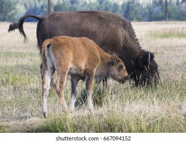Cow bison and calf in grass meadow